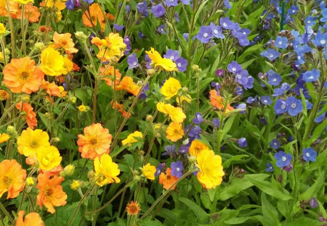 geum-anchusaGeum 'Totally Tangerine' and Anchusa 'Loddon Royalist'